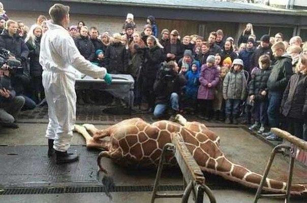 Убийство жирафа в Дании