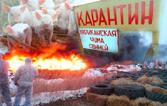 В Украине новая вспышка африканской чумы свиней