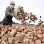 Украина активно выращивает картофель